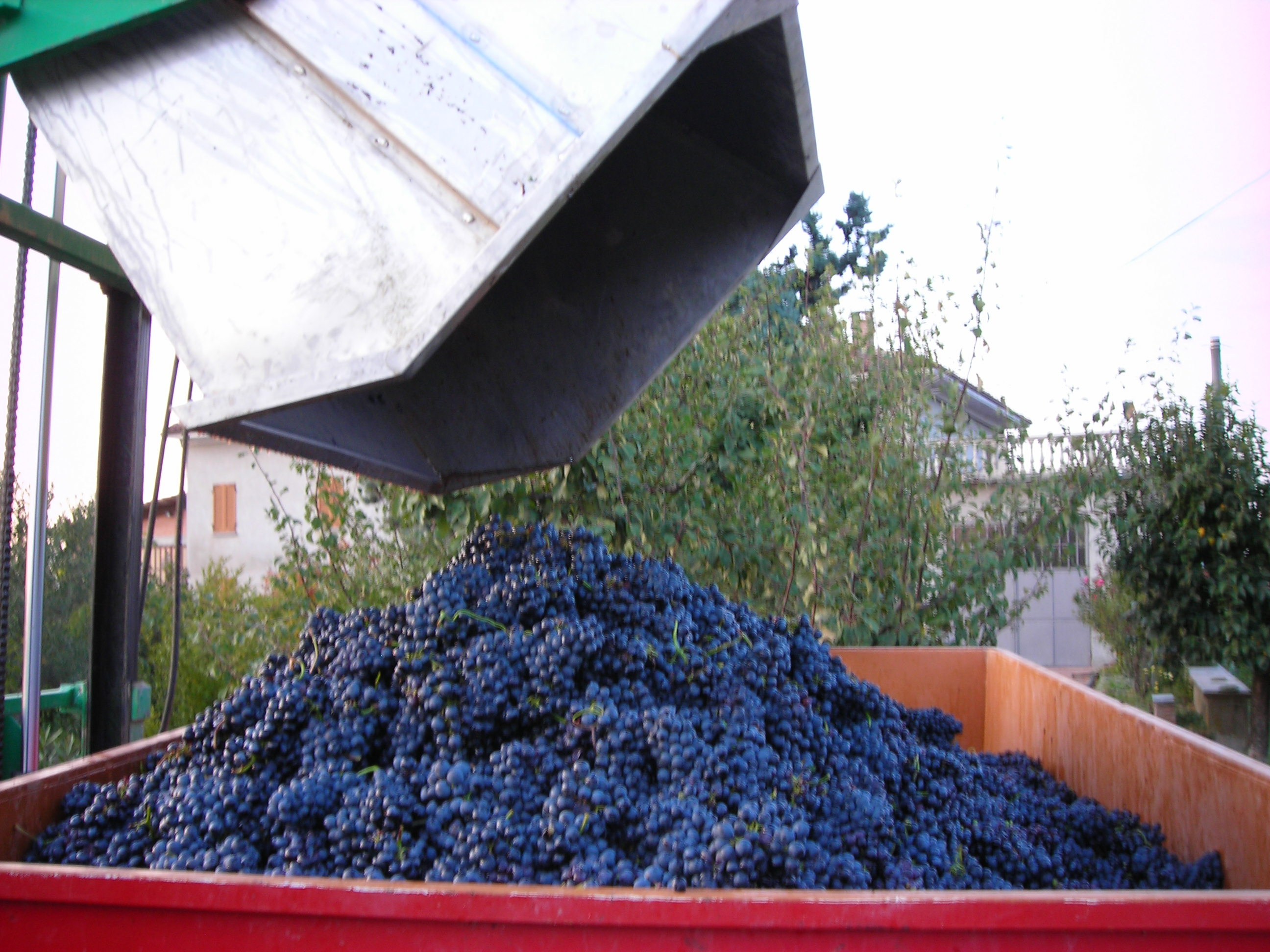 grapes-unloading