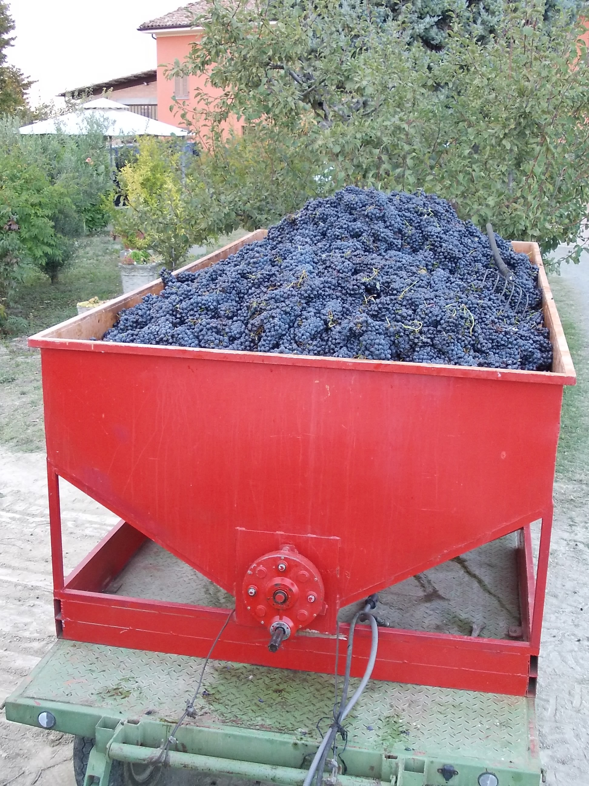 grapes-ready-to-be-crushed